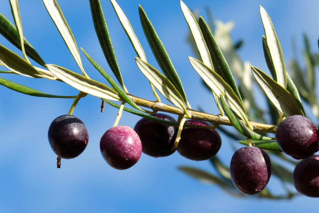 Olive groves on Brač Island