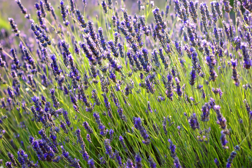 The lavender is a symbol of the island