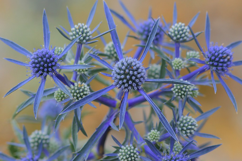 The flower Eryngium alpinum from Biokovo Nature Park